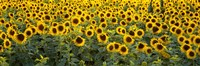 Sunflowers (Helianthus annuus) in a field, Bouches-Du-Rhone, Provence, France Fine Art Print