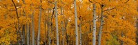 "Quaking Aspens Dixie National Forest UT by Panoramic Images - 27"" x 9"""