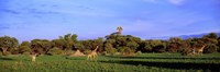 """Giraffes in a field, Moremi Wildlife Reserve, Botswana, South Africa by Panoramic Images - 27"""" x 9"""", FulcrumGallery.com brand"""