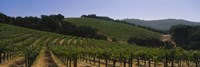 "Vineyard on a landscape, Napa Valley, California, USA by Panoramic Images - 27"" x 9"""