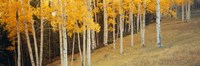 """Aspen trees in a field, Ouray County, Colorado, USA by Panoramic Images - 27"""" x 9"""""""