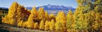 Fall Aspen Trees Telluride CO Fine Art Print