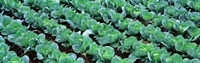 Cabbage Yamhill Co Oregon USA