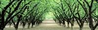"""Hazel Nut Orchard, Dayton, Oregon, USA by Panoramic Images - 27"""" x 9"""" - $28.99"""