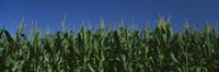 """Corn crop in a field, New York State, USA by Panoramic Images - 27"""" x 9"""""""