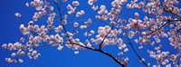 Cherry Blossoms Washington DC Fine Art Print