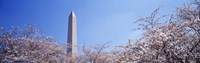 "Washington Monument behind cherry blossom trees, Washington DC, USA by Panoramic Images - 27"" x 9"""