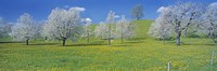 """View Of Blossoms On Cherry Trees, Zug, Switzerland by Panoramic Images - 27"""" x 9"""""""