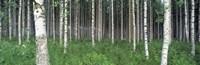 Birch Forest Punkaharju Finland