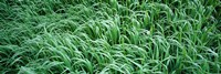 """High angle view of grass, Montana, USA by Panoramic Images - 27"""" x 9"""""""