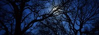 "Silhouette of Oak trees, Texas, USA by Panoramic Images - 27"" x 9"""