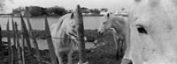 "Horses, Camargue, France by Panoramic Images - 27"" x 9"""