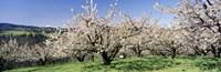 Cherry Orchard Oregon USA