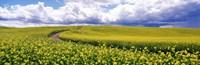 Road Canola Field Washington State USA