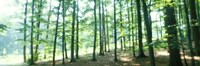 """Forest Scene with Fog, Odenwald, near Heidelberg, Germany by Panoramic Images - 27"""" x 9"""", FulcrumGallery.com brand"""