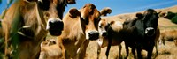 "Close Up Of Cows, California, USA by Panoramic Images - 27"" x 9"", FulcrumGallery.com brand"
