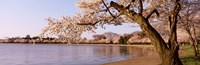 "Cherry blossom tree along a lake, Potomac Park, Washington DC, USA by Panoramic Images - 27"" x 9"""