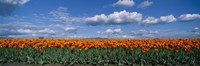 "Clouds over a tulip field, Skagit Valley, Washington State, USA by Panoramic Images - 27"" x 9"", FulcrumGallery.com brand"