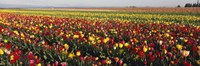 """Tulip Field, Willamette Valley, Oregon, USA by Panoramic Images - 27"""" x 9"""""""
