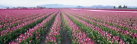 """Tulip Fields, Skagit County, Washington State, USA by Panoramic Images - 27"""" x 9"""""""