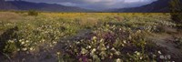 """High angle view of wildflowers in a landscape, Anza-Borrego Desert State Park, California, USA by Panoramic Images - 27"""" x 9"""""""