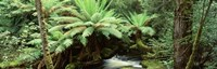 "Rainforest, Mt. Field National Park, Tasmania, Australia by Panoramic Images - 27"" x 9"""