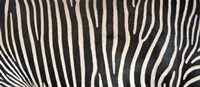 Grevey's Zebra Stripes Fine Art Print