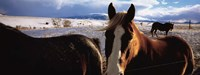 """Horses in a field, Montana, USA by Panoramic Images - 27"""" x 9"""""""