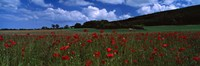 """Flowers On A Field, Staxton, North Yorkshire, England, United Kingdom by Panoramic Images - 27"""" x 9"""", FulcrumGallery.com brand"""