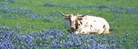 Texas Longhorn Cow Sitting On A Field, Hill County, Texas, USA Fine Art Print