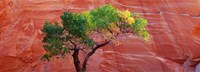 """Low Angle View Of A Cottonwood Tree In Front Of A Sandstone Wall, Escalante National Monument, Utah, USA by Panoramic Images - 27"""" x 9"""""""