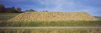 """Heap Of Sugar Beets In A Field, Stuttgart, Baden-Wurttemberg, Germany by Panoramic Images - 27"""" x 9"""""""