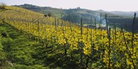 Panoramic View of Vineyards Peidmont Italy