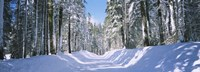 """Trees in a row on both sides of a snow covered road, Crane Flat, Yosemite National Park, California, USA by Panoramic Images - 27"""" x 9"""""""