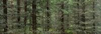 Trees in a forest, Spruce Forest, Joutseno, Finland Fine Art Print