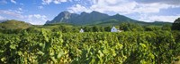 """Babylons Torren Wine Estates, Paarl, Western Cape, Cape Town, South Africa by Panoramic Images - 27"""" x 9"""""""