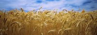 "Wheat crop growing in a field, Palouse Country, Washington State by Panoramic Images - 27"" x 10"""
