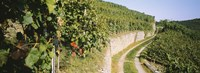 """Gravel road passing through vineyards, Vaihingen An Der Enz, Baden-Wurttemberg, Germany by Panoramic Images - 27"""" x 9"""""""