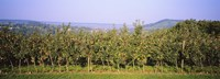 """Apple trees in an orchard, Weinsberg, Heilbronn, Stuttgart, Baden-Wurttemberg, Germany by Panoramic Images - 27"""" x 9"""""""