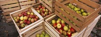 """High angle view of harvested apples in wooden crates, Weinsberg, Baden-Wurttemberg, Germany by Panoramic Images - 27"""" x 9"""", FulcrumGallery.com brand"""