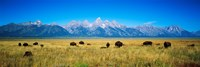 Field of Bison with mountains in background, Grand Teton National Park, Wyoming, USA Fine Art Print