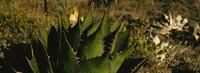Close-up of an aloe vera plant, Baja California, Mexico Fine Art Print