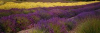"""Lavender and Yellow Flower fields, Sequim, Washington, USA by Panoramic Images - 27"""" x 9"""""""