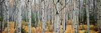 Aspen trees in a forest, Alberta, Canada Fine Art Print