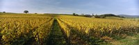 Panoramic view of vineyards, Schloss Vollrads, Johannisberg, Oestrich-Winkel, Rheingau, Germany Fine Art Print