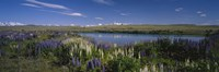 """Flowers blooming at the lakeside, Lake Pukaki, Mt Cook, Mt Cook National Park, South Island, New Zealand by Panoramic Images - 27"""" x 9"""", FulcrumGallery.com brand"""