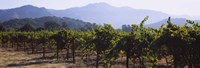 """Grape vines in a vineyard, Napa Valley, Napa County, California, USA by Panoramic Images - 27"""" x 9"""""""
