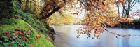 "Trees along a river, River Dart, Bickleigh, Mid Devon, Devon, England by Panoramic Images - 27"" x 9"""