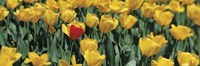 Yellow tulips in a field Fine Art Print