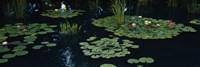 Water lilies in a pond, Denver Botanic Gardens, Denver, Colorado, USA Fine Art Print